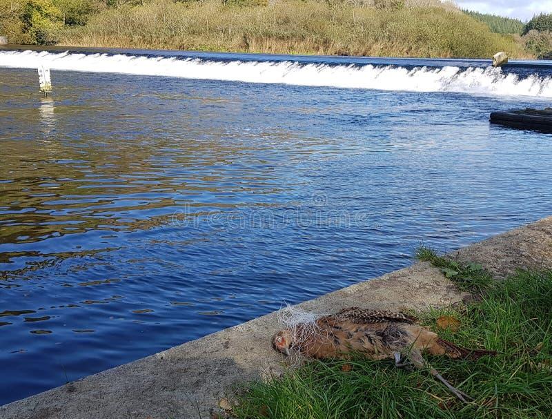 Uccello ucciso dalla diga di Lopwell immagini stock libere da diritti