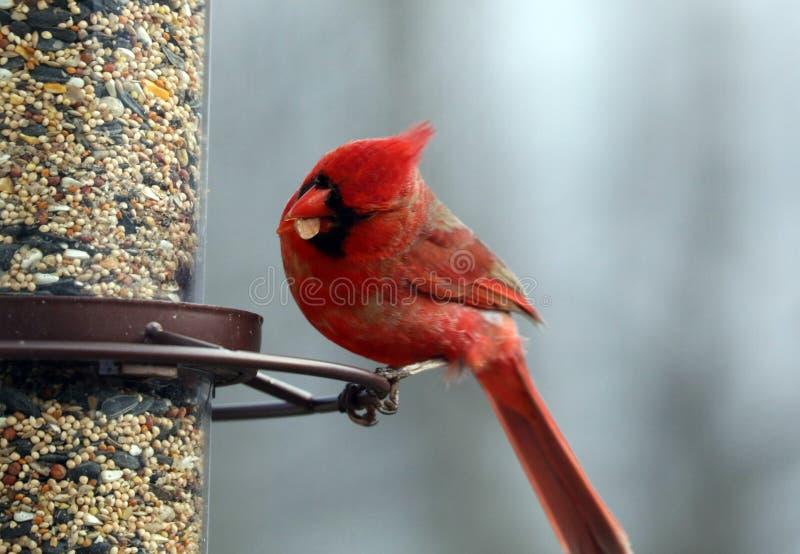 Uccello variopinto cardinale nordico rosso splendido che mangia i semi da un alimentatore del seme dell'uccello durante l'estate  immagini stock