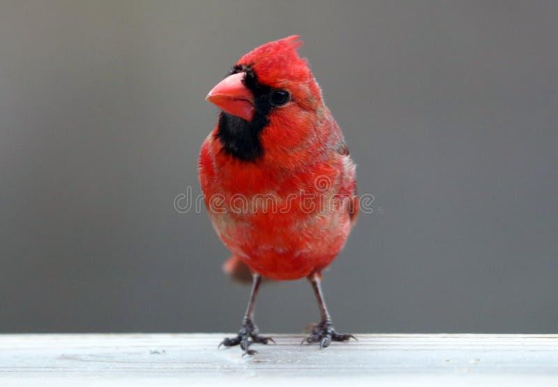 Uccello variopinto cardinale nordico rosso splendido che mangia i semi da un alimentatore del seme dell'uccello durante l'estate  fotografia stock libera da diritti