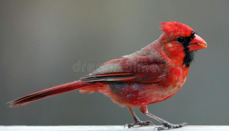 Uccello variopinto cardinale nordico rosso splendido che mangia i semi da un alimentatore del seme dell'uccello durante l'estate  immagini stock libere da diritti
