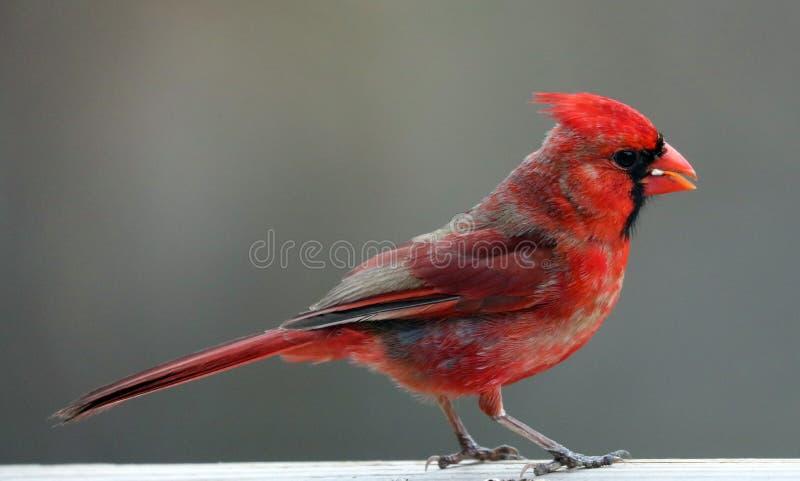 Uccello variopinto cardinale nordico rosso splendido che mangia i semi da un alimentatore del seme dell'uccello durante l'estate  immagine stock