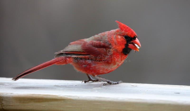Uccello variopinto cardinale nordico rosso splendido che mangia i semi da un alimentatore del seme dell'uccello durante l'estate  fotografie stock