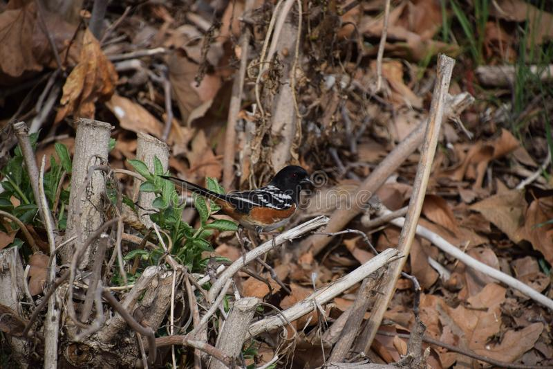 Uccello variopinto che cerca un pasto, Hart Park, Bakersfield, CA fotografie stock libere da diritti