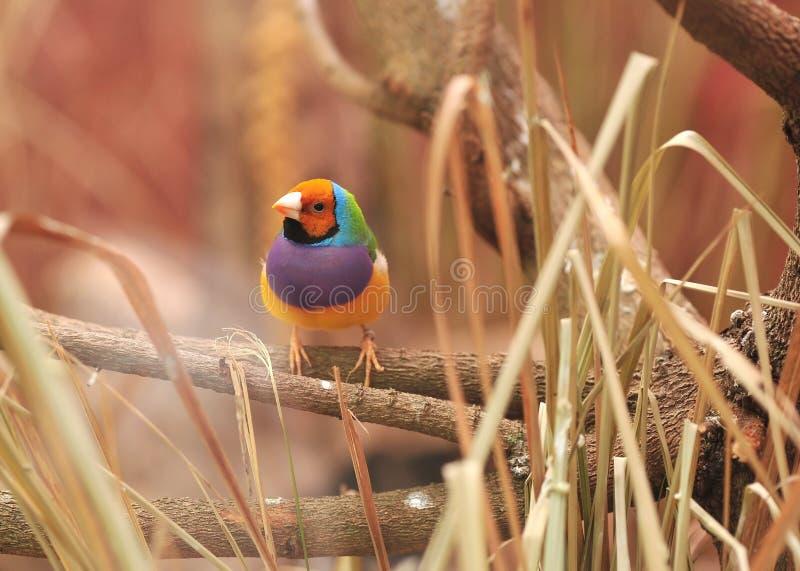 Uccello variopinto del fringillide di Gouldian sull'albero fotografia stock libera da diritti