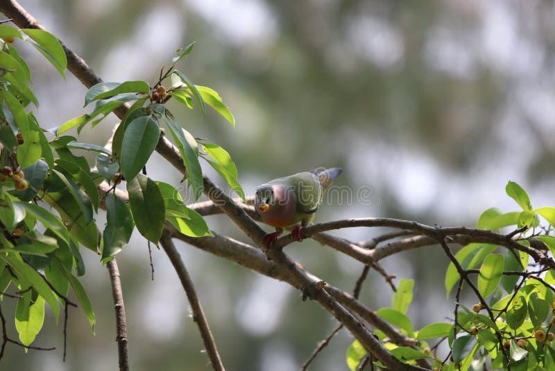 Uccello variopinto di Emerald Dove che mangia frutta sul ramo di albero che guarda a immagine stock libera da diritti
