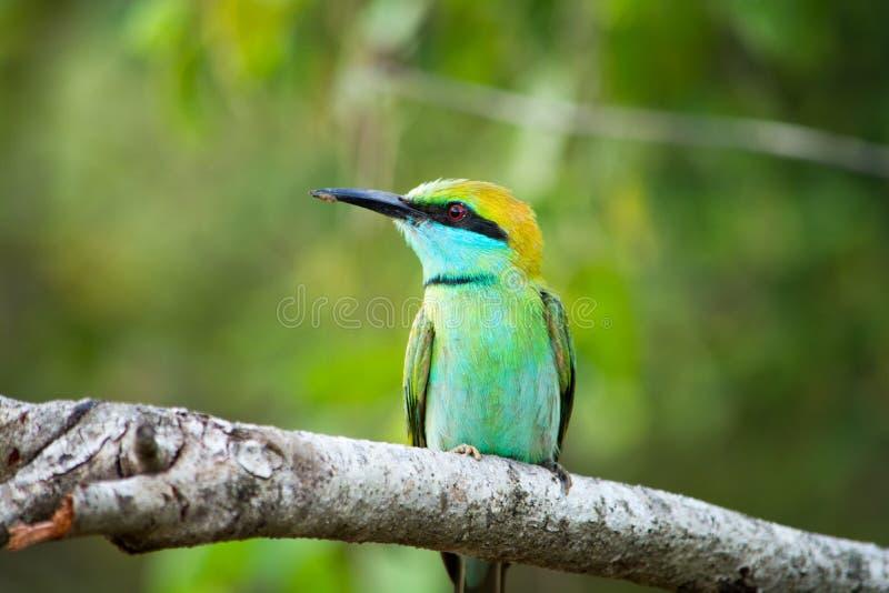 Uccello variopinto nel parco nazionale di Yala Ape-mangiatore orientale nello Sri Lanka immagine stock libera da diritti
