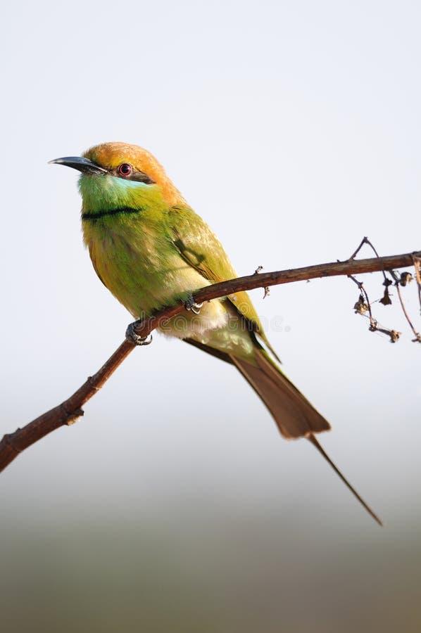 Uccello verde del mangiatore di ape fotografie stock