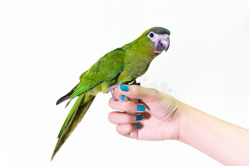Uccello verde sveglio dell'ara sulla femmina del dito fotografia stock libera da diritti