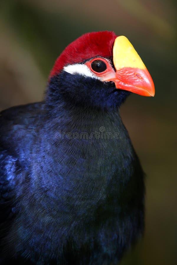 Uccello viola del Turaco immagini stock