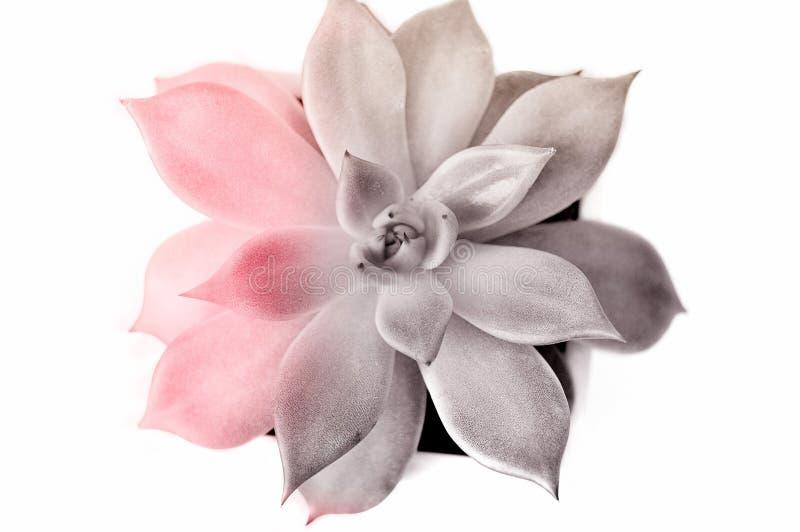 Ucculent在白色背景隔绝了,设色在桃红色和灰色 设计观念,印刷品的,图片印刷品 r 免版税库存图片