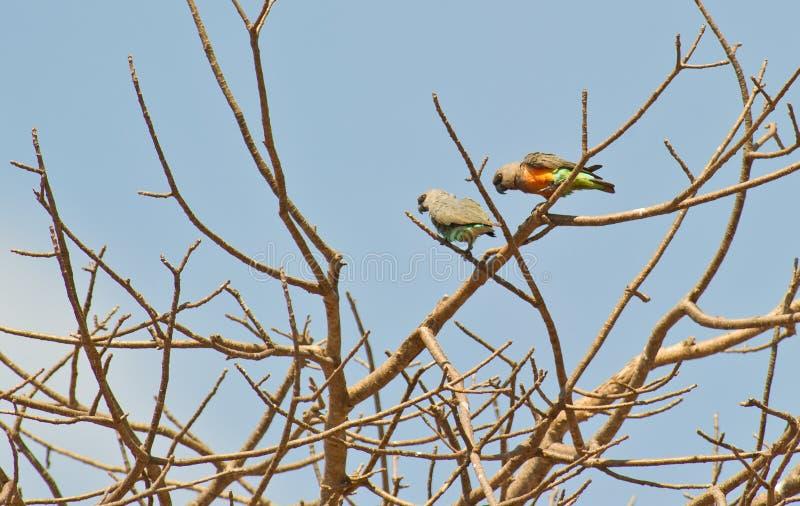 Uces par de loros anaranjado-hechos bolso africanos imágenes de archivo libres de regalías