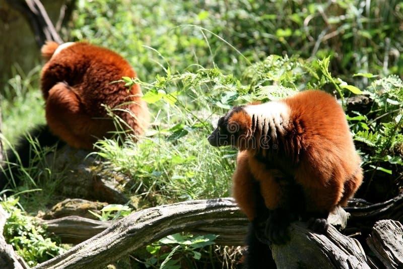 Uces par de monos superados rojos del lemur imagen de archivo libre de regalías