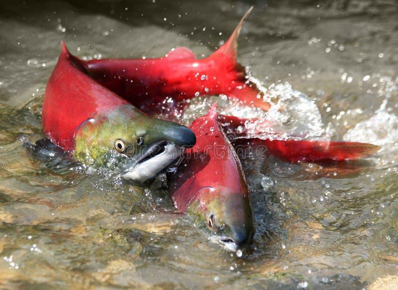 Uces par de salmones rojos foto de archivo libre de regalías