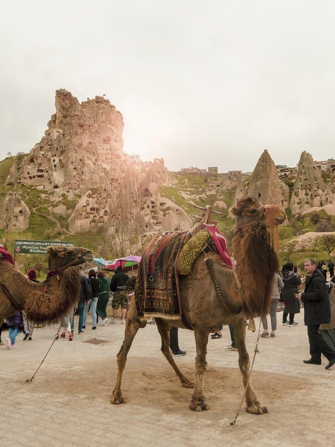 Uchisar, die Türkei - 15. April - 2019: Kamele in einer Landschaft der felsigen Stadt Uchisar in Cappadocia stockfotografie