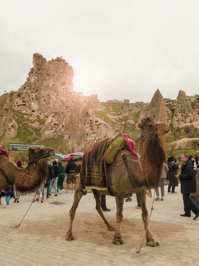 Uchisar, Turkey - April 15 - 2019: Camels in a landscape of rocky town Uchisar in Cappadocia stock photography