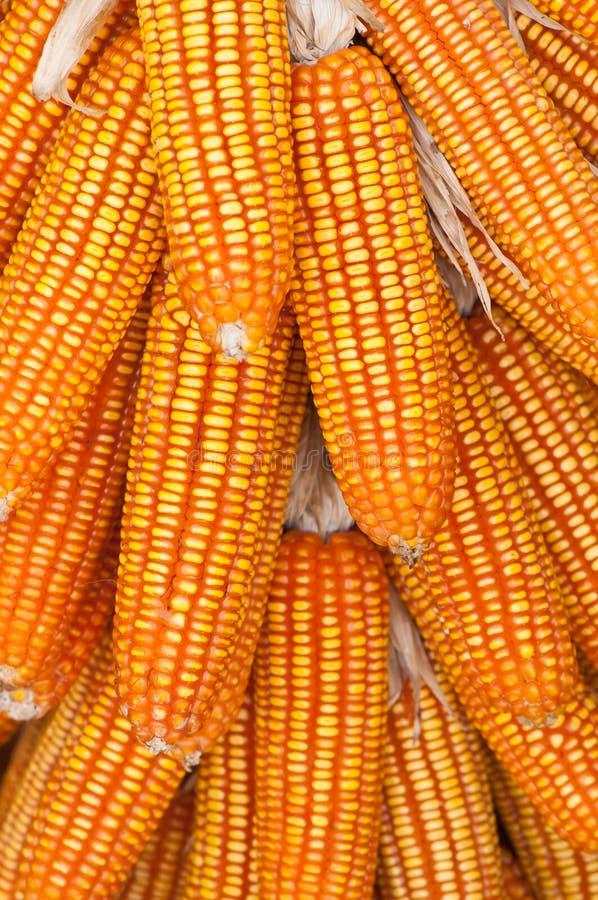 Ucho kukurudza obrazy stock