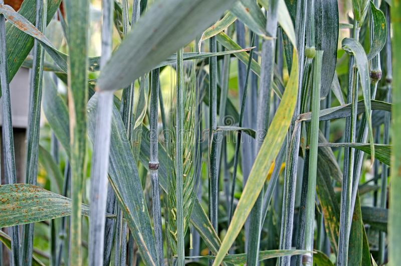Ucho kukurudza na słonecznym dniu obraz royalty free