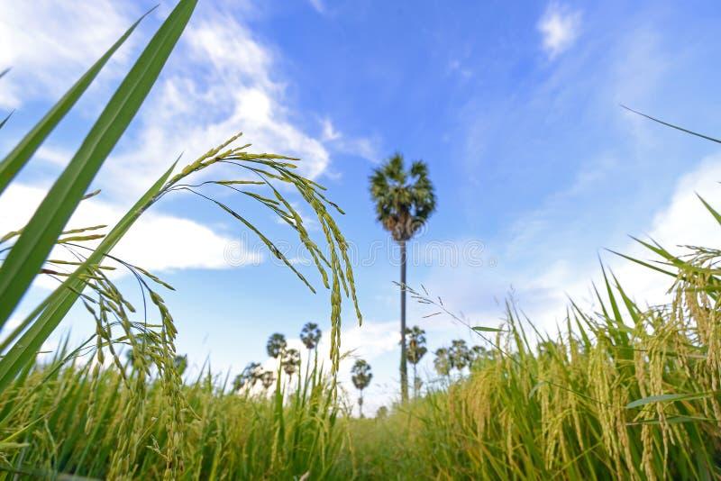 Ucho ryż zdjęcie royalty free