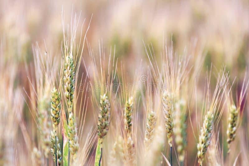 Ucho złoty banatki zakończenie up dzień lata gorąca pola pszenicy fotografia stock