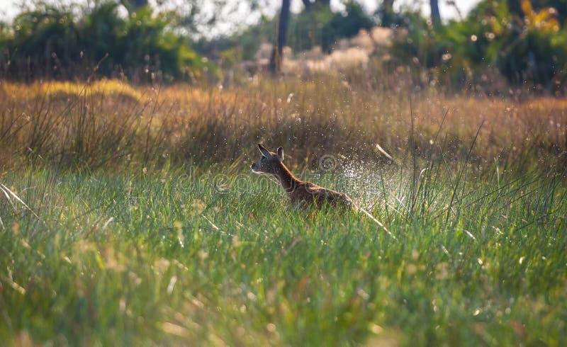 Uciekać Impala Botswana zdjęcie stock