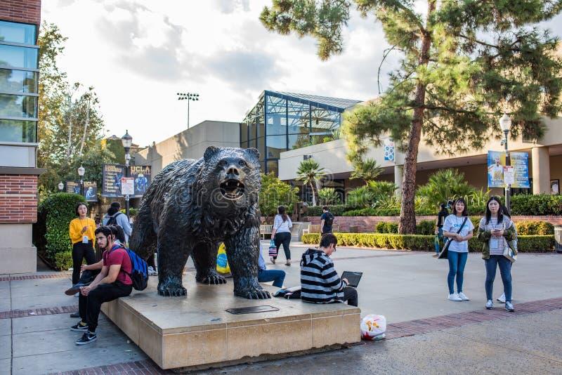 UCLA niedźwiadka niedźwiedź zdjęcia royalty free