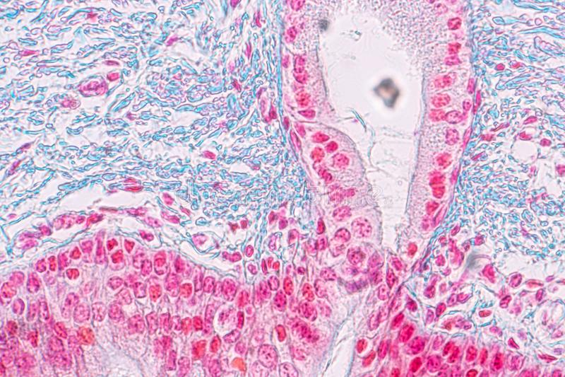 Uczenie anatomia i fizjologia Pseudostratified kolumnowy epithellum pod mikroskopijnym obraz stock