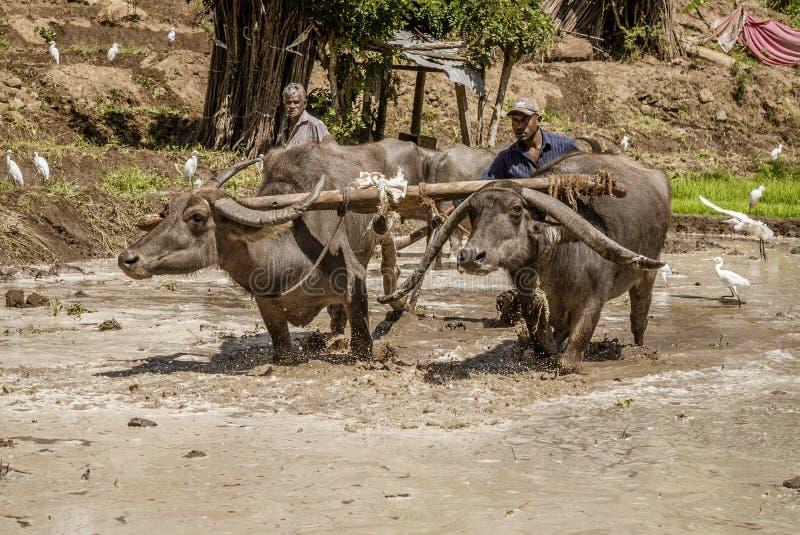 Uda Walawe, Шри-Ланка - 2019-03-38 - индийский буйвол работает поле риса для засаживать стоковое фото