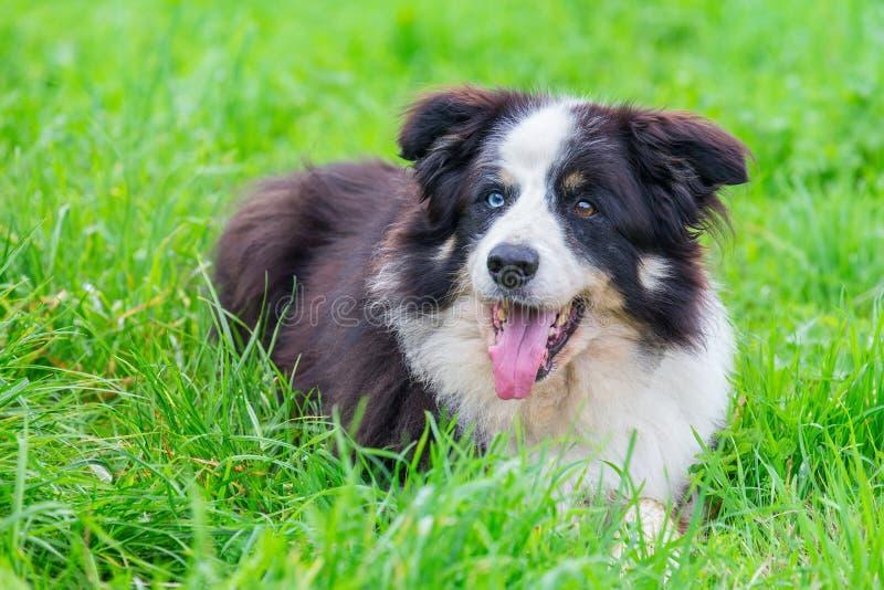 Udda öga border collie som ligger i gräs royaltyfri foto
