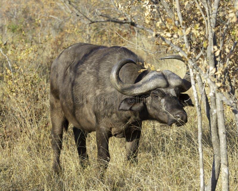 Uddebuffel - djurliv av den Transfrontier stora Lumpopoen parkerar arkivfoton
