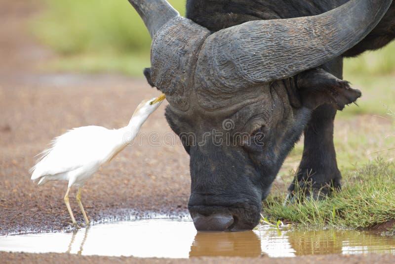 Uddebuffel med lesser vit ägretthäger som söker efter kryp arkivfoto