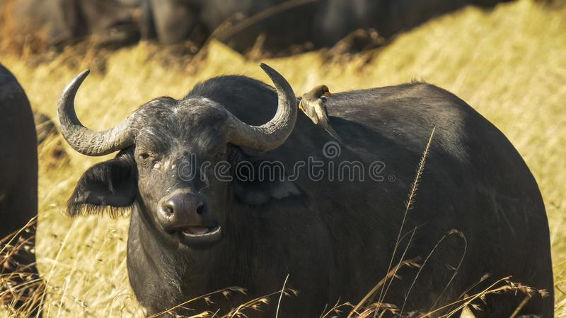 Uddebuffel och putsaoxpecker i masaien mara arkivbilder