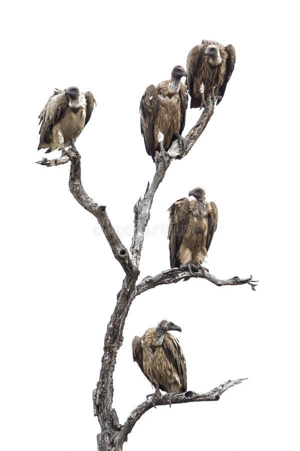 Uddegam i den Kruger nationalparken arkivbilder