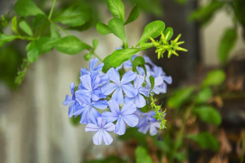 Uddeleadwort, vit blyerts eller blyertsauriculataLam h?rliga blommor som blommar i tr?dg?rden royaltyfria foton
