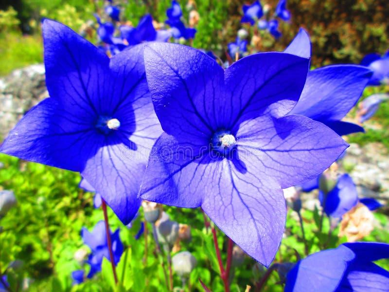 Uderzający błękit kwitnie w lata słońcu obraz royalty free