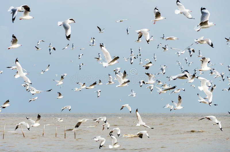 Uderzenie Poo, Tajlandia: Kierdel Seagulls latać. fotografia stock