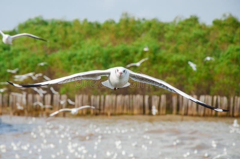 Uderzenie Poo, Tajlandia: Seagull latanie obrazy royalty free