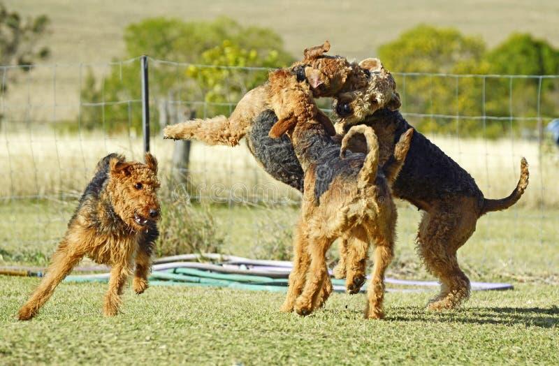 Udziałów duzi psy bawić się z grubsza wpólnie fotografia royalty free