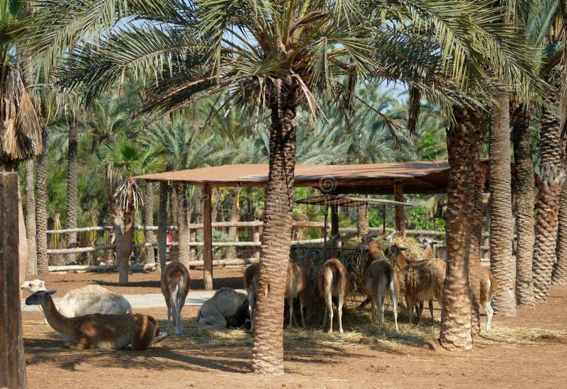 Udział lama zwierząt hodowli słoma obraz royalty free