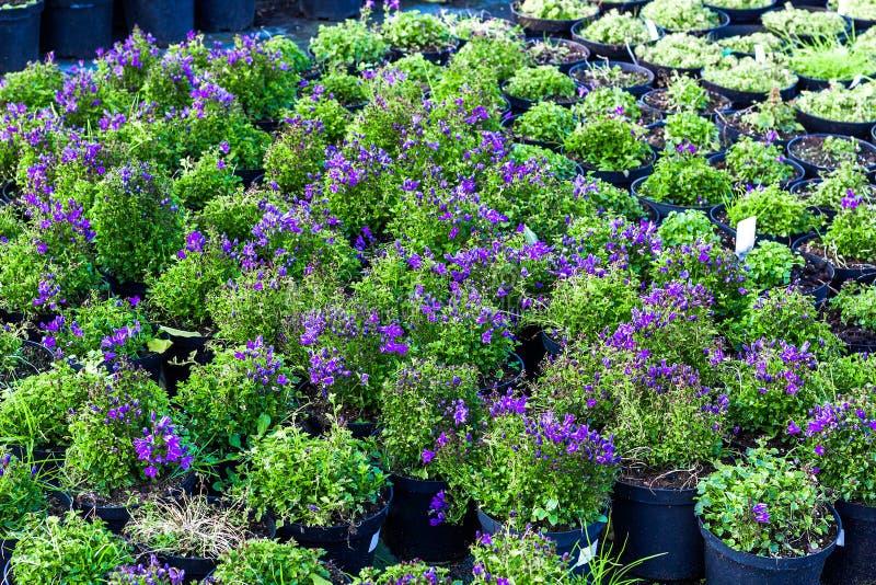 Udział purpurowa kampanula kwitnie przyrosta w garnkach, odgórny widok fotografia stock