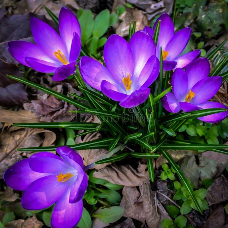 Udział purpurowy Rubinowy Gigantyczny krokus na pogodnym wiosna dniu fotografia stock
