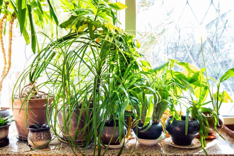 Udział zieleni houseplants w ceramicznych garnkach przy parapetem zdjęcia stock