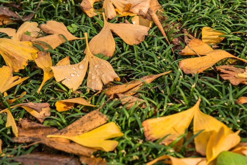 Udziały żółty Ginkgo opuszczają na zielonych trawach obrazy stock