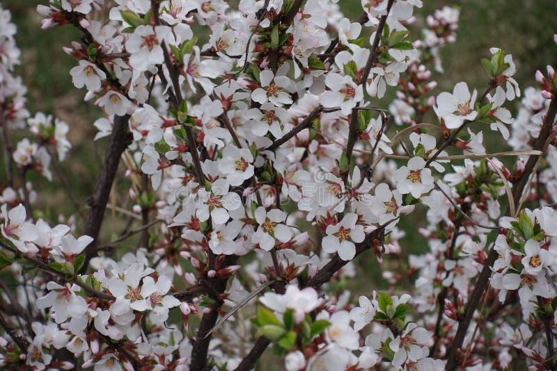 Udziały biali kwiaty Chińska karłowata wiśnia zdjęcie stock
