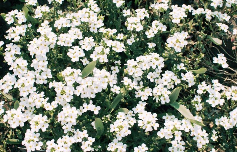 Udziały biali mali kwiaty fotografia royalty free