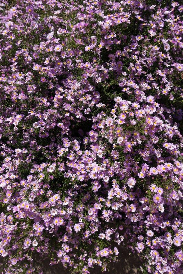 Udziały fiołkowi kwiaty Michaelmas stokrotki obrazy royalty free