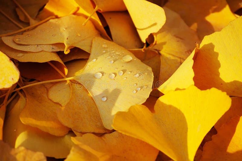 Udziały ginkgo opuszczają na ziemi w jesieni obraz stock