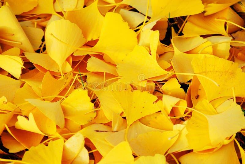 Udziały ginkgo opuszczają na ziemi w jesieni obrazy royalty free