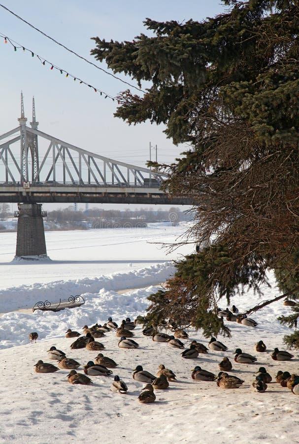 Udziały kaczki w zimie blisko rzeki Brown i szarość obrazy stock