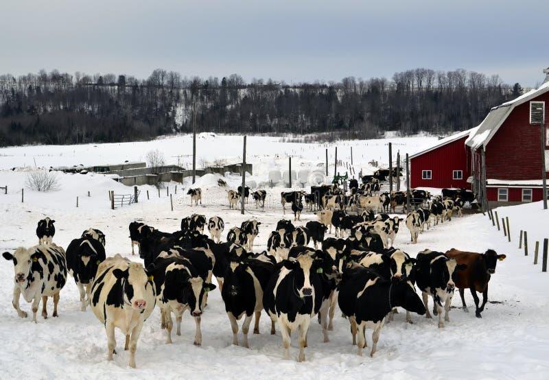 Udziały krowy fotografia stock