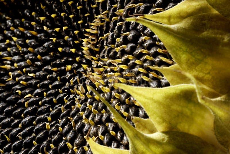 Udziały Słonecznikowi ziarna zdjęcie royalty free